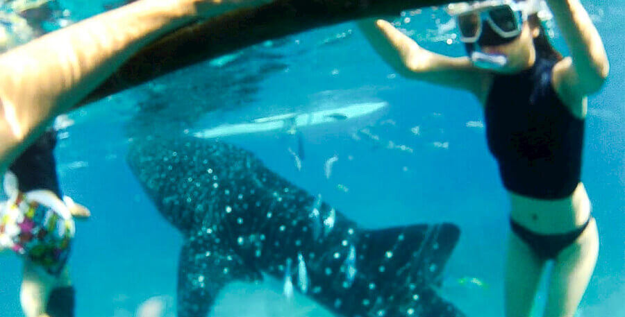 If you want to have a close encounter with exquisite marine lifeforms like the whaleshark, then dive into Oslob, Cebu. Image source: sheslouisse.com